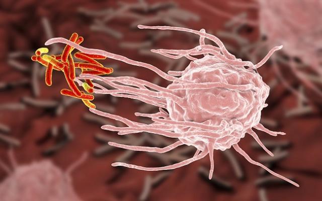 macrophage englufing mycobacterium tuberculosis